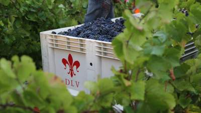 Harvesting our Estate Pinot Noir
