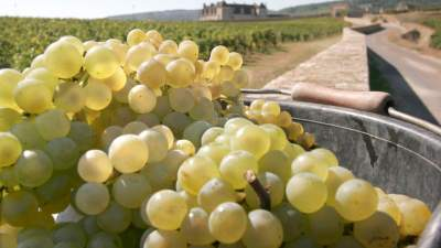 Harvest at Domaine de la Vougeraie